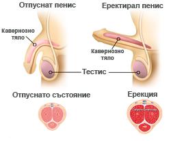 erekciq-mehanizum